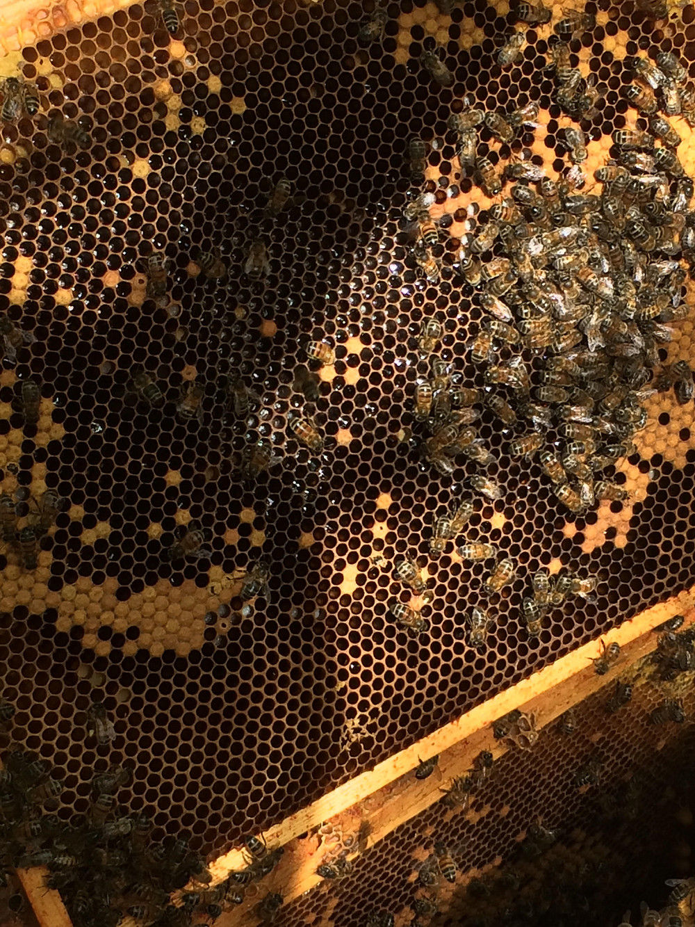 A frame inside the Bee hive