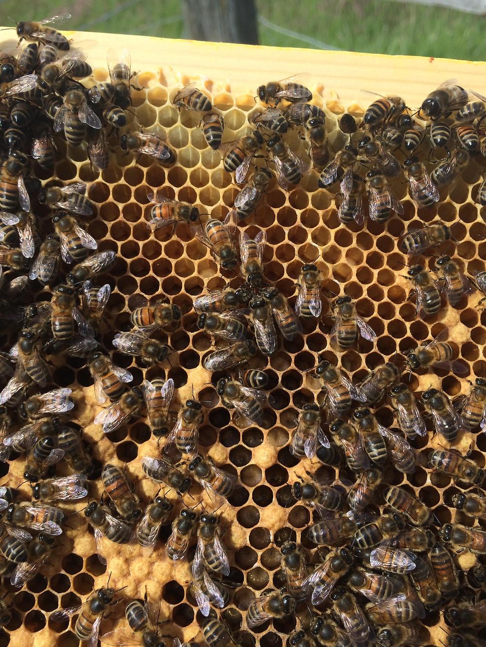 Buckfast Bees