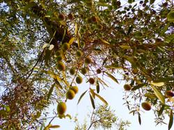 olive bio