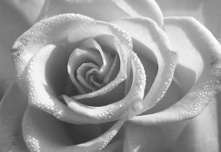 beautiful wedding rose