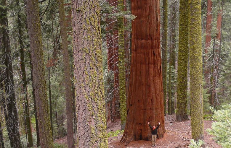 Californie Séquoia géant Californie