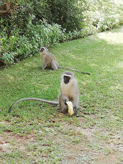 Hungry Monkey January 2018
