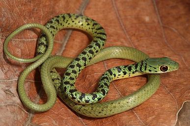 Spotted bush snake.jpg