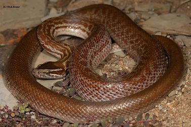 Brown house snake.jpg