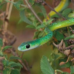 Western Natal green snake.jpg