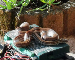 What a beauty! Brown house snake Oct 20