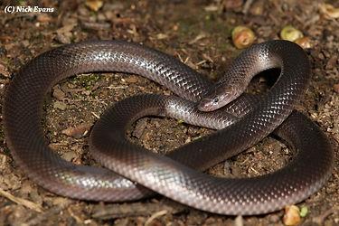 Stiletto snake.jpg