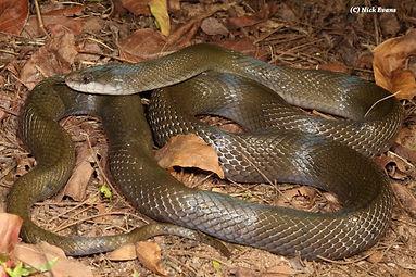 Olive house snake.jpg
