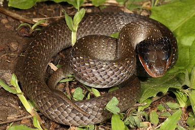 Herald snake (Red-lipped Herald or Rooil