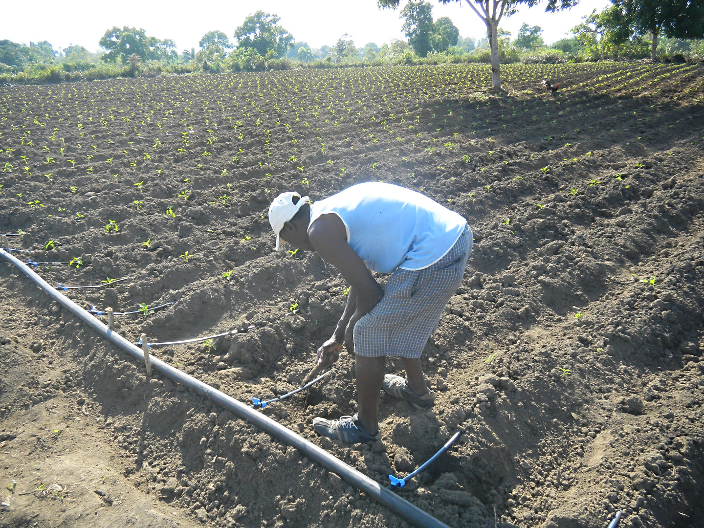 Farmer planting pepper with drip irrigation