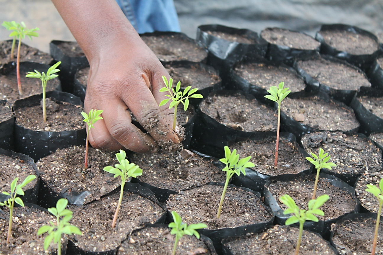 Morenga seedlings