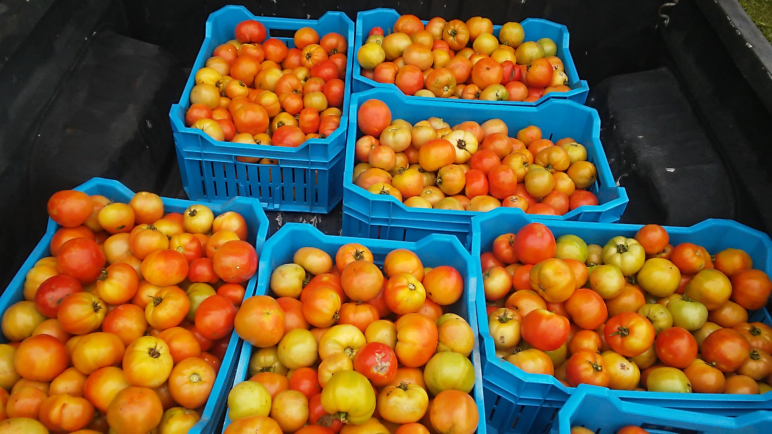 Tomato harvest from iF production
