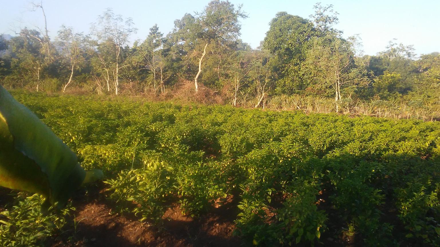 iF Hot pepper farm