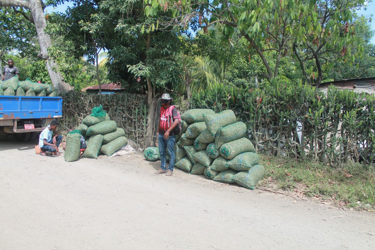Collecting peanut harvest