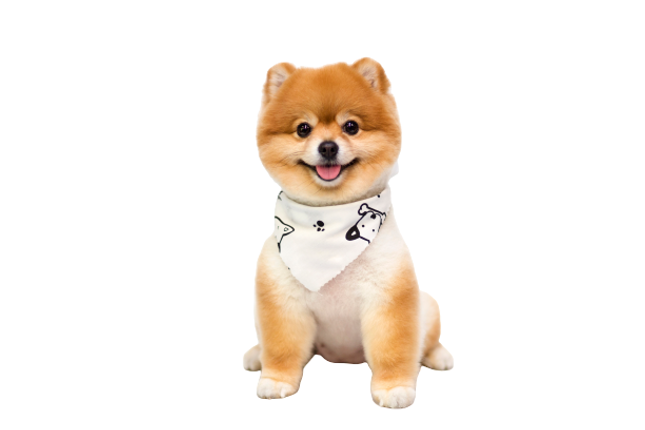 pomeranian-dog-sitting-white-removebg-pr