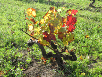L'AOC Coteaux du Layon est le vignoble le plus étendu d'Anjou