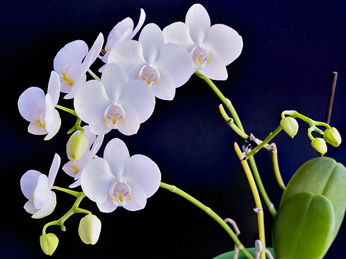 Double Thrills White Orchids