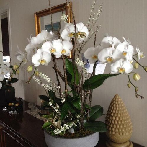 Wild Thrills White Orchids