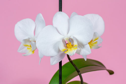 Single Thrill White Orchid