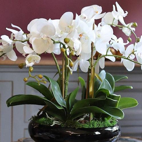 Triple Thrills White Orchids