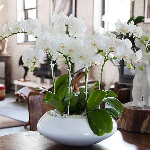 Quadruple Thrills White Orchids