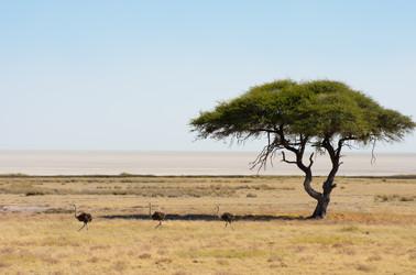 Ostriches in Etosha
