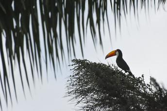 Toucan in Tiradentes