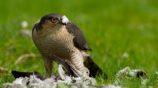 Bristol Sparrowhawk