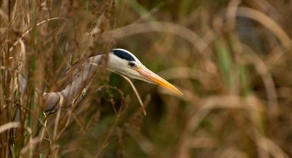 Peeking Heron