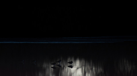 Lapwings in Seaton Wetlands