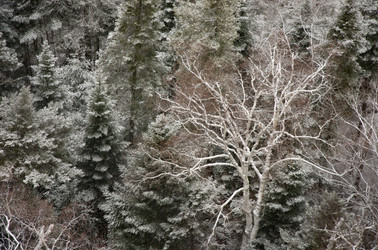 Snowy Trees in New York State