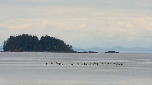 Canada Geese at Storey's Beach