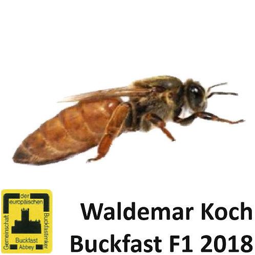 Пчеломатка Бакфаст, плодная (пользовательская) из Германии F1