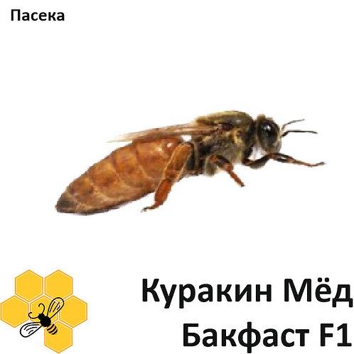 "Пчеломатка Бакфаст, плодная, с пасеки ""Куракин Мёд"" F1"