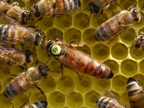 Пчеломатки Бакфаст, плодные F1