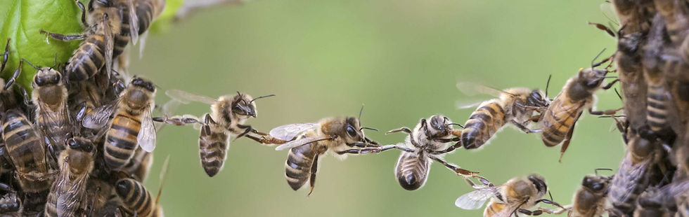 Пчелопакет бакфаст и карника