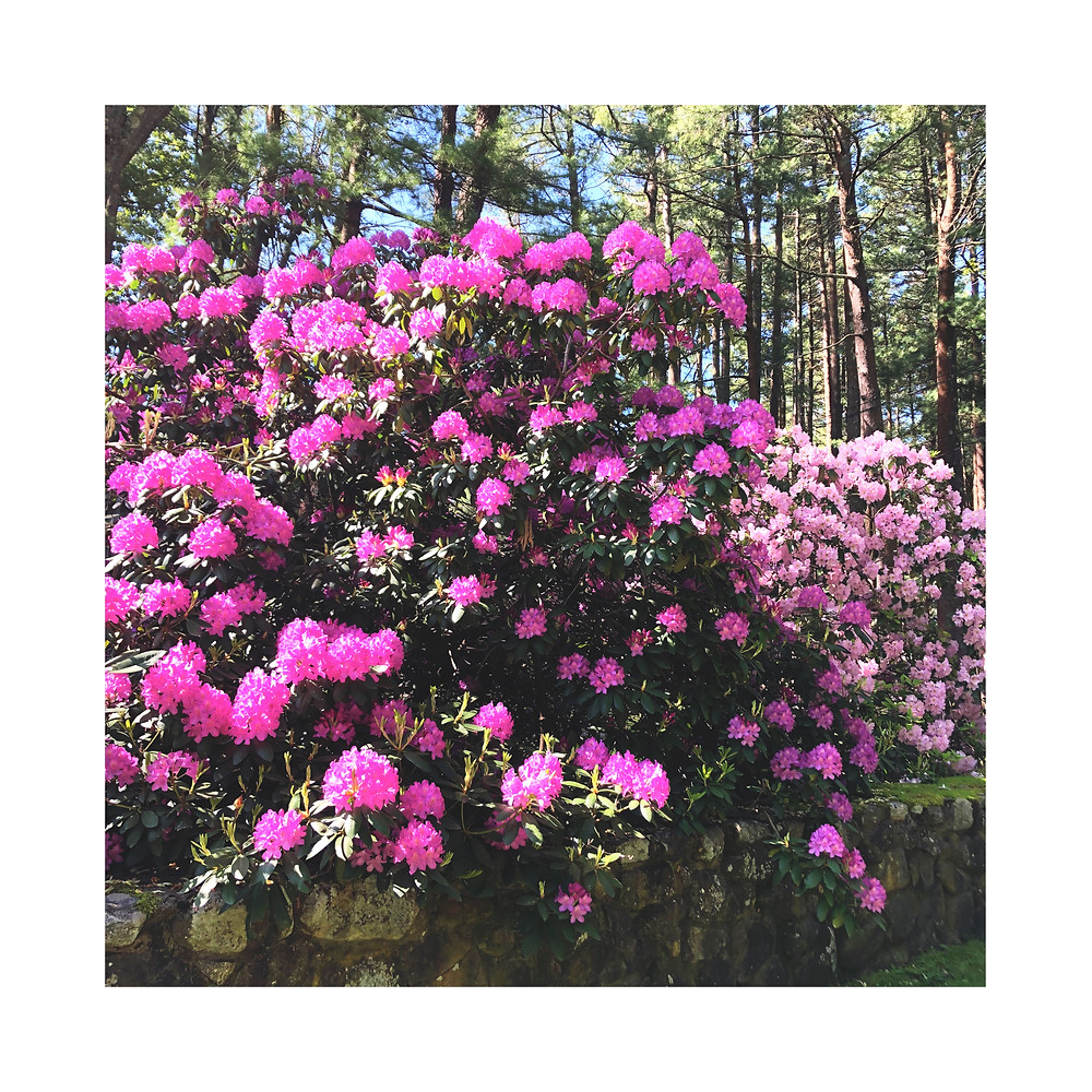 This acupuncturist is grateful for rhododendrons!