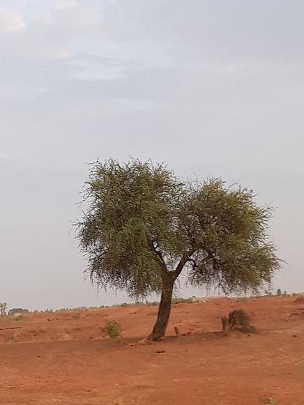 Le dattier du désert
