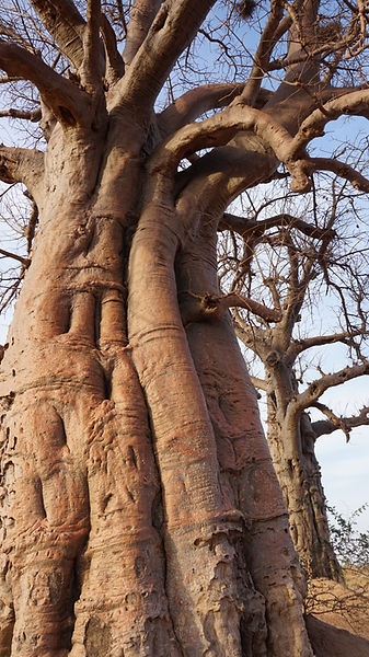 baobab-proche.JPG