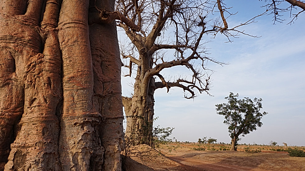 Baobabs au Burkina Faso