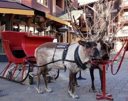 Reindeer in Montrose