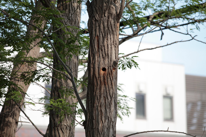 アカゲラの巣