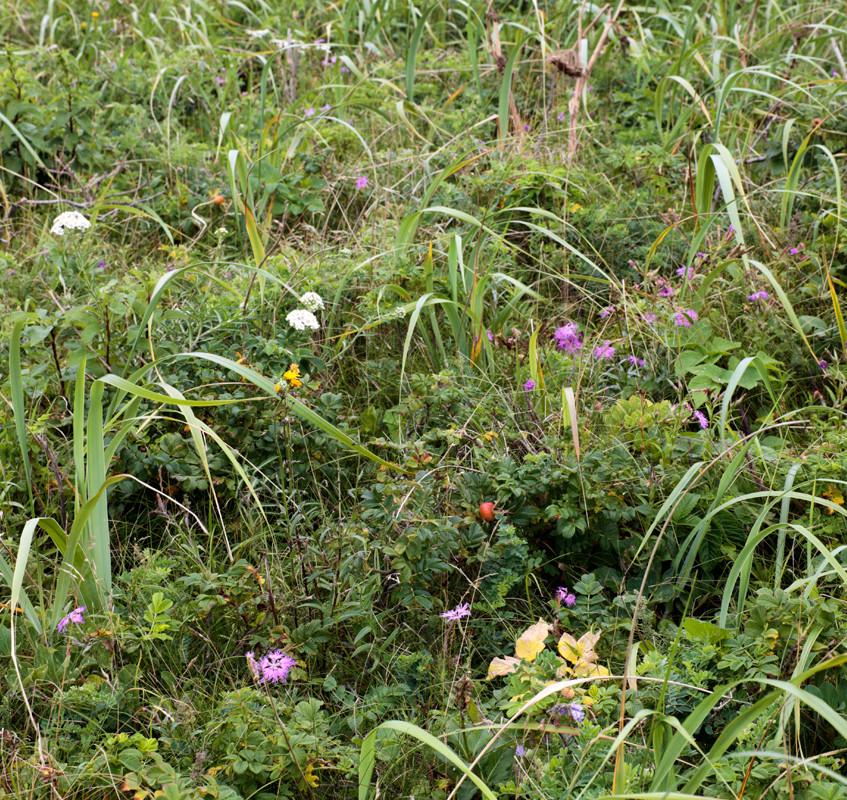 原生花園の草花