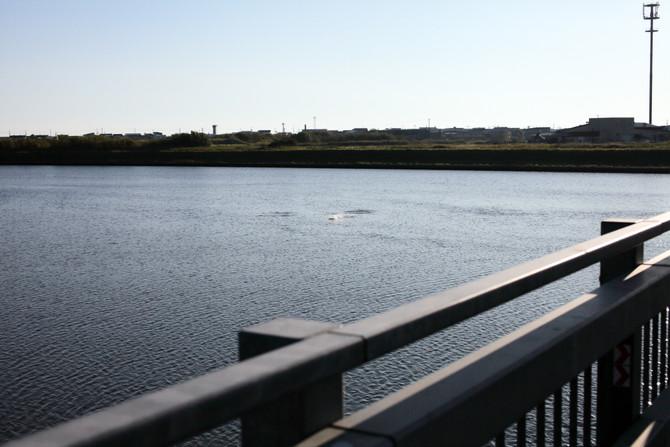 頓別川に鮭