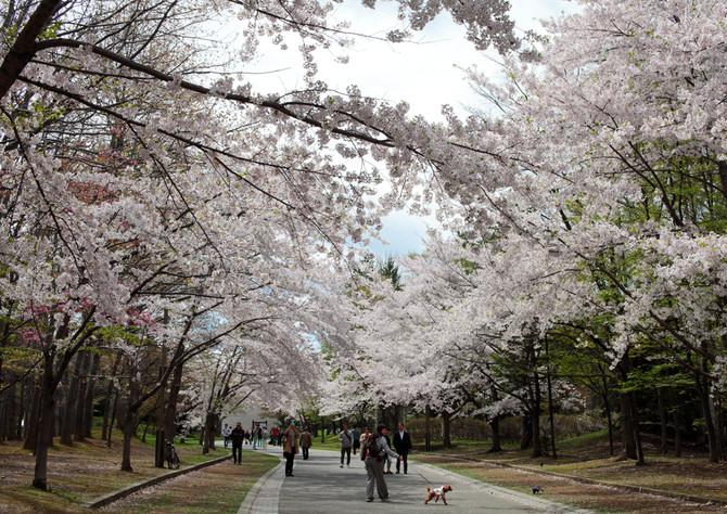 札幌で桜 中島公園