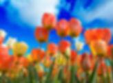 Gypsy Rose Tulips