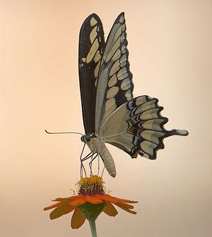 buttefly on an orange flower
