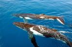 Ballenas jorobadas movilizarán más de 60 mil turistas a Samaná y Puerto Plata