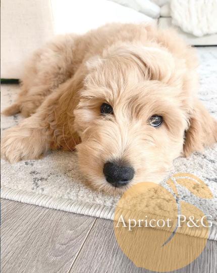 cooper pup litter 1.png