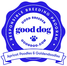 apricot-poodles-goldendoodles-california